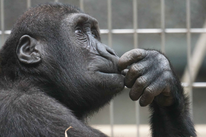 ape-chimp-chimpanzee-33535 (2)
